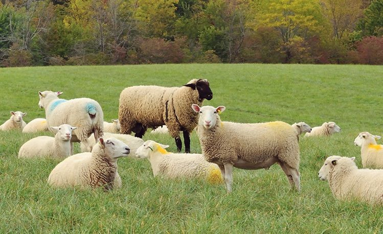 Electric Fence Ear Tags Sheep Amp Goat Equipment Clippers