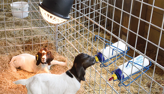 Use a bottle rack to allow lambs and goat kids to self-feed.