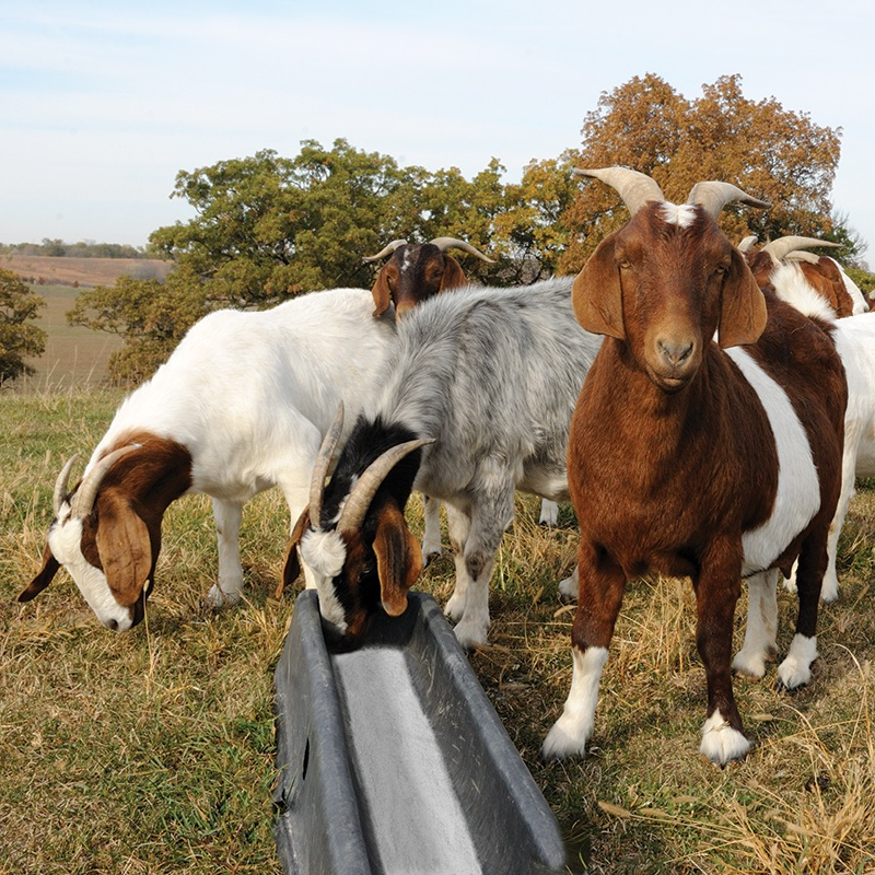 PortaTroughs™ — Durable feeders for sheep and goats