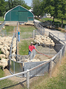 Handling Equipment for Sheep and Goats