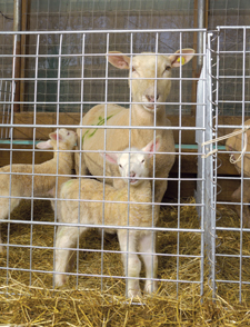 Wire Panels for Lambing Pens