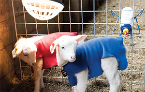 Lambing and Kidding Aids and Accessories