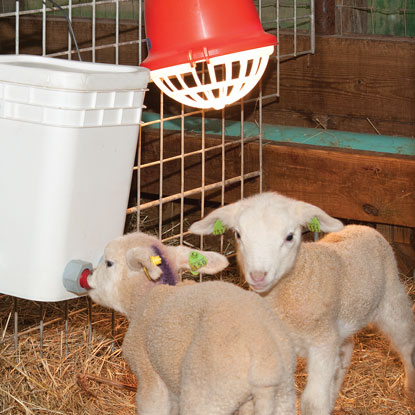 Indoor lambing/kidding season