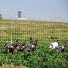 Electric fence - Chicken Net 12/42/3