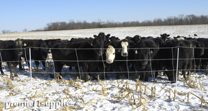 Cattle in field in winter