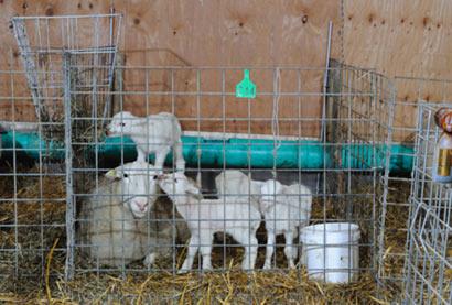 New Lamb System