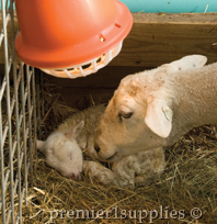 Lambs in a shed