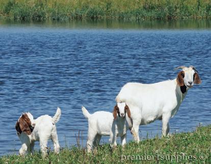 Goats by a lake