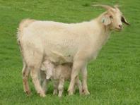 Goat Doe Twins
