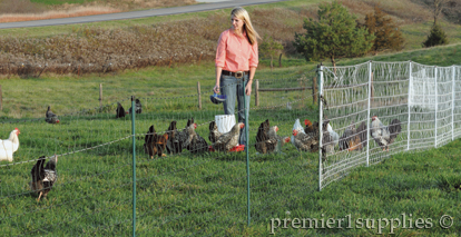 Feeding Poultry in Poultry Fences