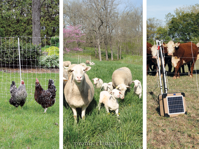 Chickens, Sheep Industry, Energizers