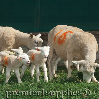 Lamb Management