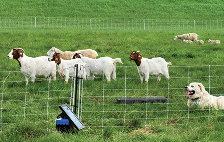 Photo of goats and sheep on pasture