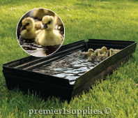 Ducks using Premier SureFoot Foot Bath