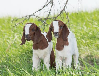 Goats in a field