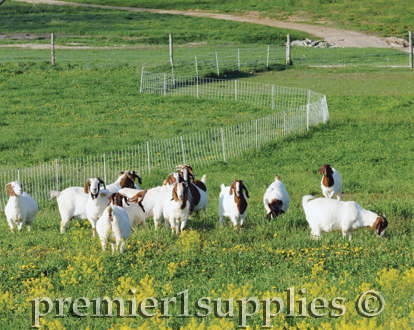 Goats in a field