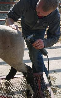 Trimming Sheep