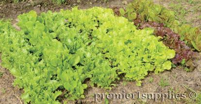 Lettuce!