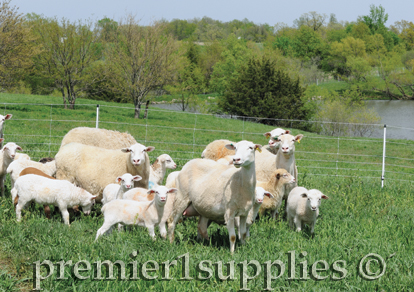 Sheep in field with quickfence