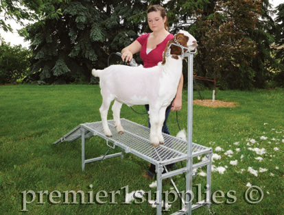 Goat on Trimming stand