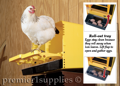 Hen standing on Chickbox