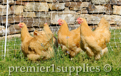 A group of Buff Orpington hens enjoying some time in the pasture