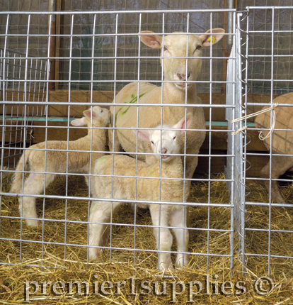 Healthy lambs and a healthy mom