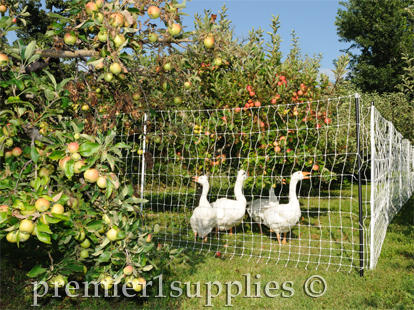 Geese being used to keep weed down under trees