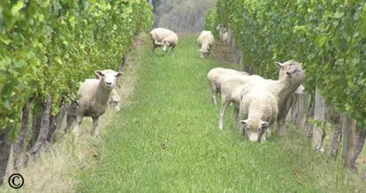 sheep plucking leaves