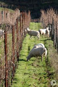 closeup of vineyard sheep