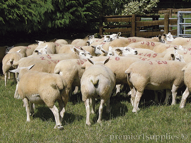 Example of sheep with extra muscle