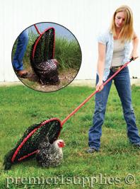Women catching chicken with net