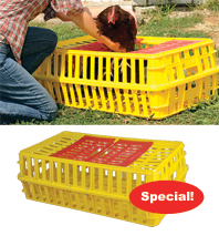 Placing a chicken in a plastic transport case