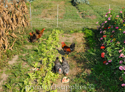 Chickens fenced in with electric netting cleaning up garden