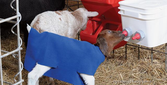 Feeding orphan lambs and goat kids