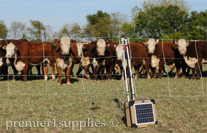 Cattle behind electrical fence