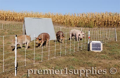 Swine being raised on pasture