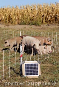 Pastured pigs enjoying their time on pasture