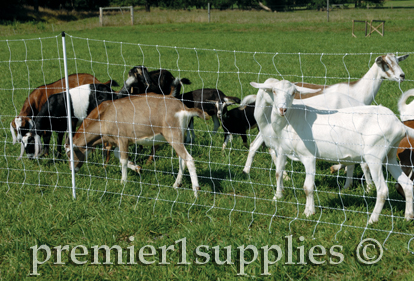 Goats behind electrical fence