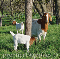 Goats using portable netting