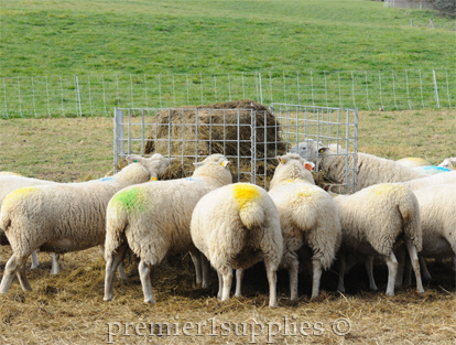 Sheep eating from a bale