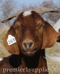 Goat Ear tags