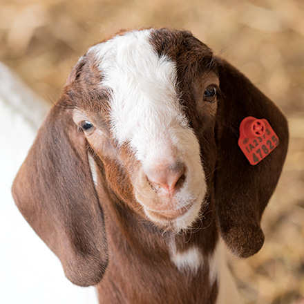 Goat with USDA Scrapie Ear Tag