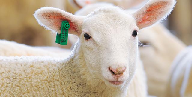 Ear Tags for USDA Scrapie Eradication Program