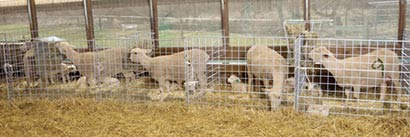 Lambing Kit