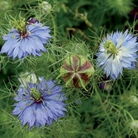 Love-in-a-Mist(Nigella damascena)