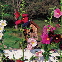 'Outhouse' hollyhock(Alcea rosea )