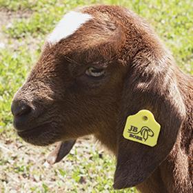 Goat MiniTag