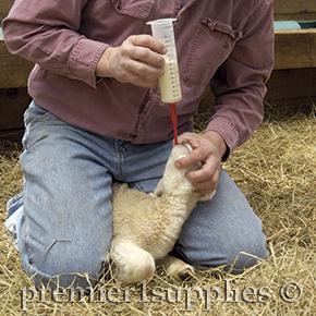 Tubing a newborn lamb