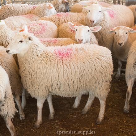 Premier Ewe Lambs for Sale